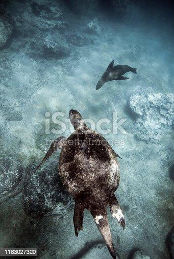 Green sea turtle and Galapagos sea lion swimming underwater, San Cristobal, Galapagos