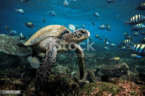 Green sea turtle and school of sergeant major fish in shallow water, Galapagos Islands