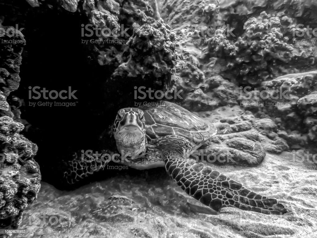 Green Sea Turtle resting on sandy ocean floor with reef in black and...