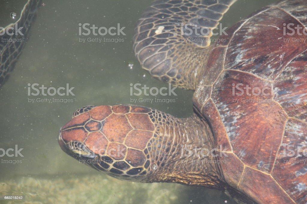 Green Sea Turtle, Chelonia Mydas, Nungwi, Zanzibar, Tanzania, Indian Ocean, Africa foto de stock royalty-free