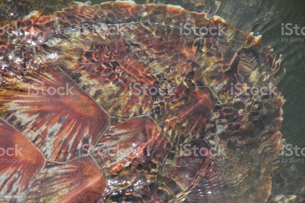 Green Sea Turtle, Chelonia Mydas, Nungwi, Zanzibar, Tanzania, Indian Ocean, Africa royalty-free stock photo