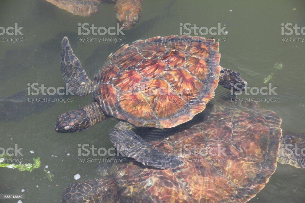 녹색 바다 거북, Chelonia Mydas, Nungwi, 잔지바르, 탄자니아, 인도양, 아프리카 royalty-free 스톡 사진