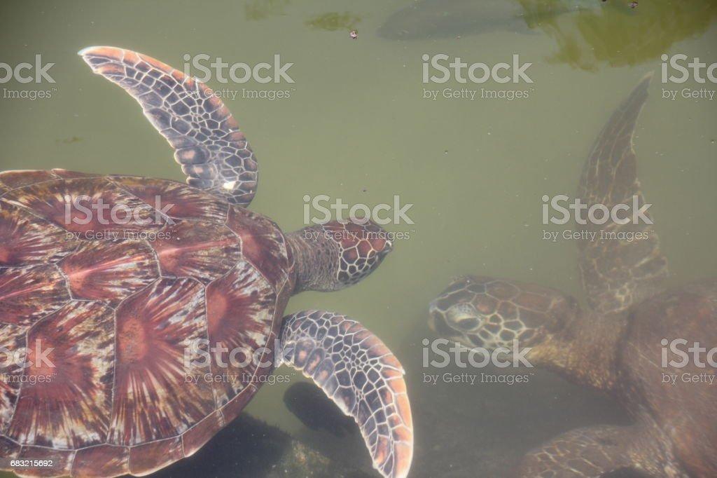 Green Sea Turtle, Chelonia Mydas, Nungwi, Zanzibar, Tanzania, Indian Ocean, Africa royalty-free 스톡 사진