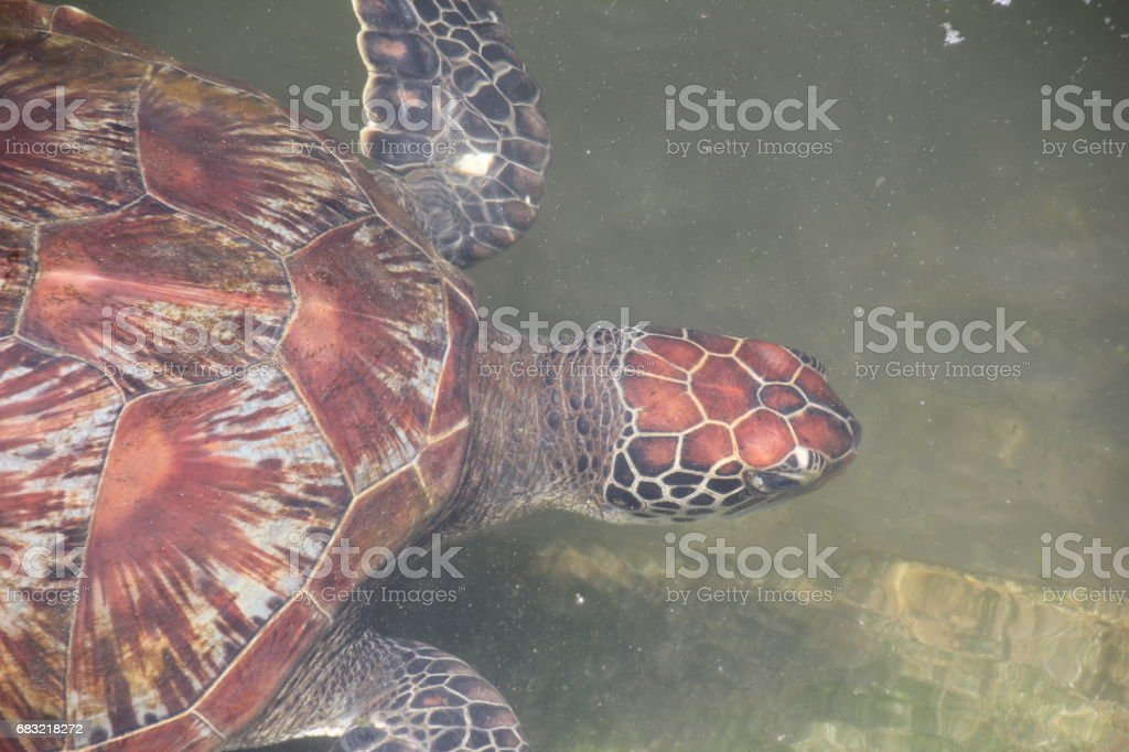 Green Sea Turtle, Chelonia Mydas, Nungwi, Zanzibar, Tanzania, Indian Ocean, Africa 免版稅 stock photo