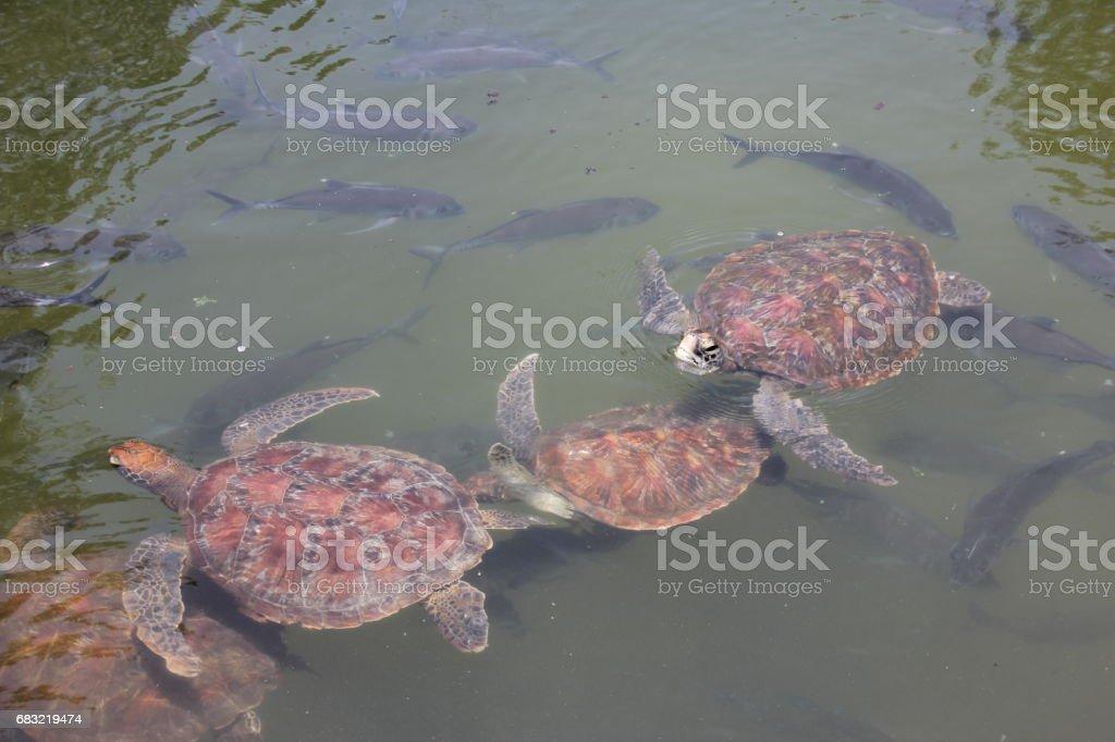 Green Sea Turtle, Chelonia Mydas, Nungwi, Sansibar, Tansania, Indischer Ozean, Afrika Lizenzfreies stock-foto