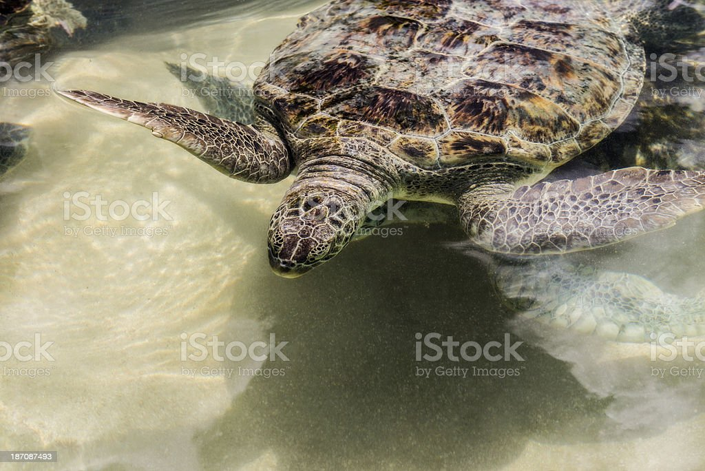 Green Sea Turtle Close Up royalty-free stock photo