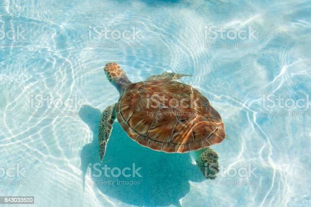 Green sea turtle closeup picture id843033520?b=1&k=6&m=843033520&s=612x612&h=8z yar82g0fpktev0nc6obogonjxey3ddymn1dqecqs=