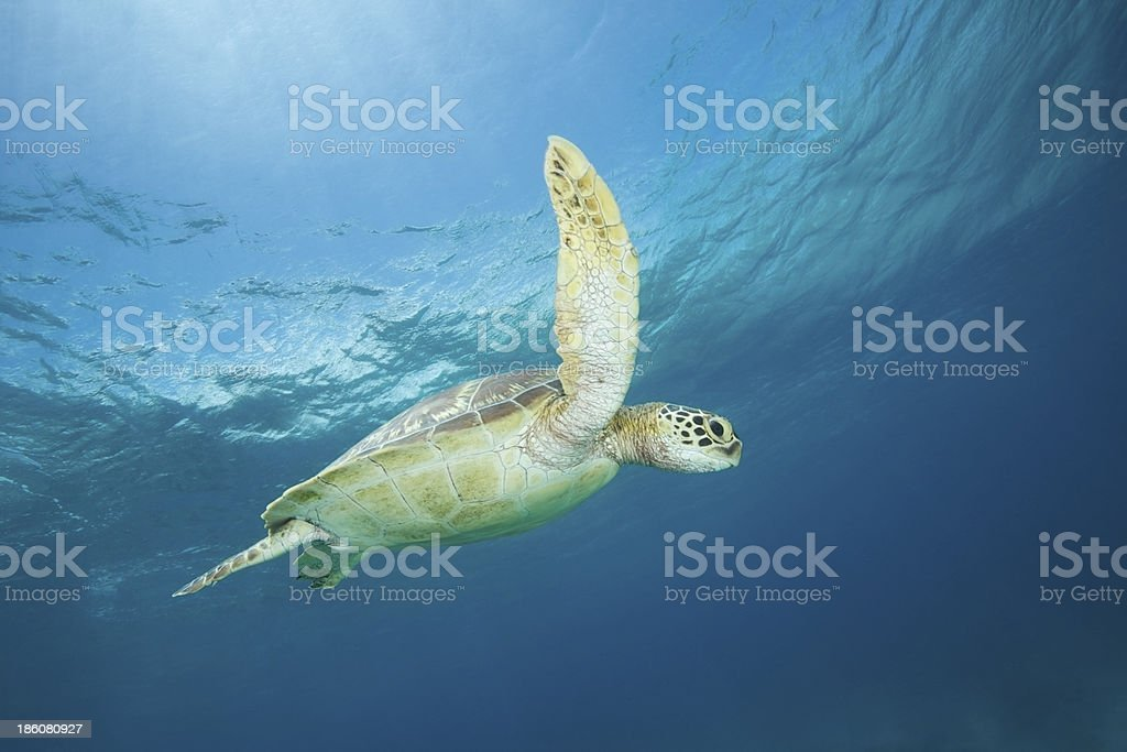 Green Sea turtle in blue water stock photo