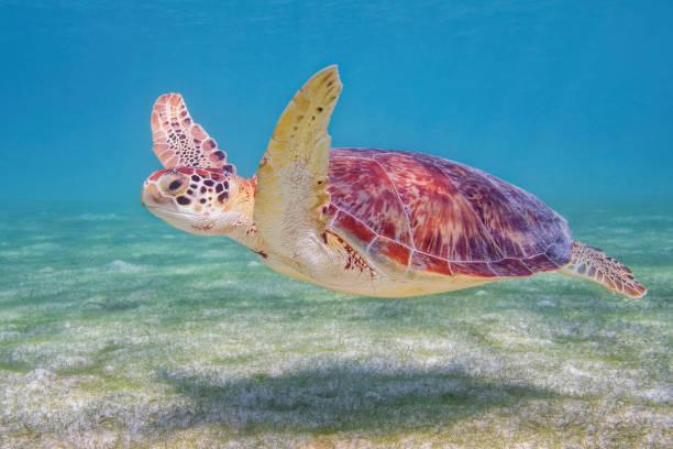 Green Sea Turtle in Caribbean Sea near Akumal Bay - Riviera Maya / Cozumel , Quintana Roo , Mexico stock photo
