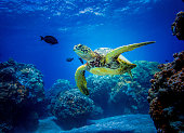 A charismatic reptile makes for memorable snorkeling and scuba diving in Hawaii