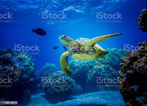 Green sea turtle in hawaii picture id1126516979?b=1&k=6&m=1126516979&s=612x612&h=cswdukl6ec1a4qeupjhkksnfnt okxbtf823vcv3oxy=
