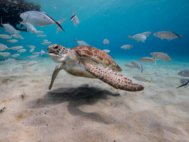 Green Sea Turtle in shallow water of the coral reef in the Caribbean Sea around Curacao stock photo