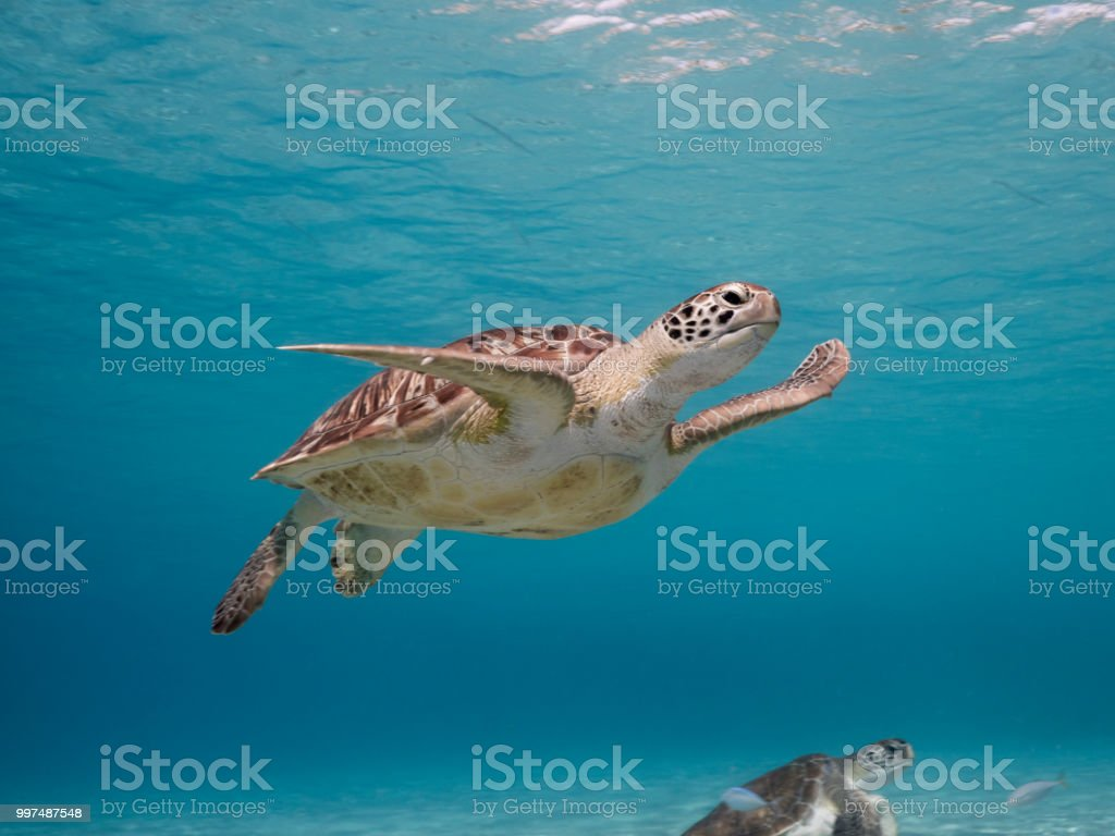 Green Sea Turtle In Shallow Water Of The Coral Reef In The