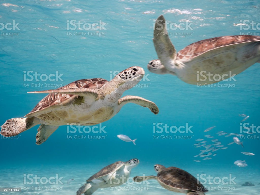Green Sea Turtle in shallow water of the coral reef in the Caribbean Sea around Curacao - Zbiór zdjęć royalty-free (Antyle)