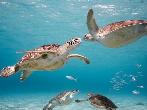 Green Sea Turtle In Shallow Water Of The Coral Reef In The Caribbean Sea Around Curacao - zdjęcia stockowe i więcej obrazów Antyle