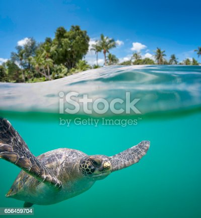 A Green Sea Turtle Also Known As A Pacific Green Turtle, A Green Turtle, Or A Black Turtle