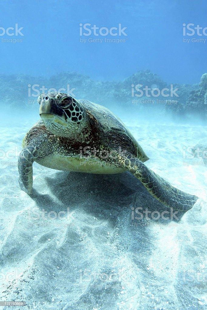 Green Sea Turtle on Sand royalty-free stock photo