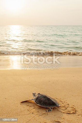 Green Sea Turtle on the tropical beach at sunset, heading for the ocean for the first time. Golden sun setting and coastline backgrounds. Khao Lampi-Hat Thai Mueang National Park, Phang Nga, Thailand. Summer season.