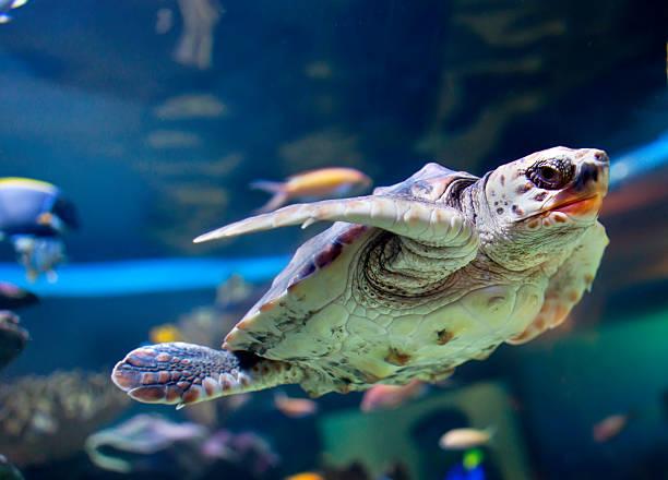 tartaruga marinha verde - organismo aquático - fotografias e filmes do acervo