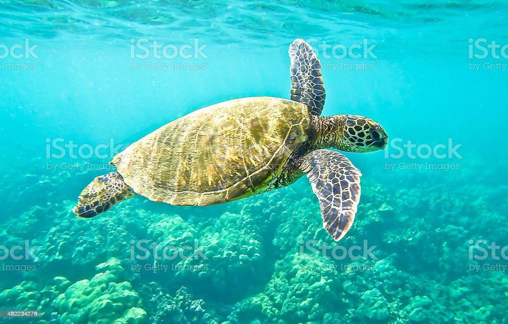 Green Sea Turtle Hawaiian Green Sea Turtle swimming. 2015 Stock Photo