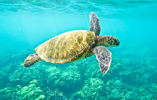 Green Sea Turtle Stock Photo - Download Image Now