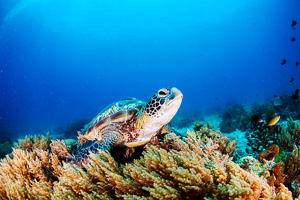 Green Sea Turtle Green Sea Turtle on the sea bed amongst the soft coral. island of borneo stock pictures, royalty-free photos & images