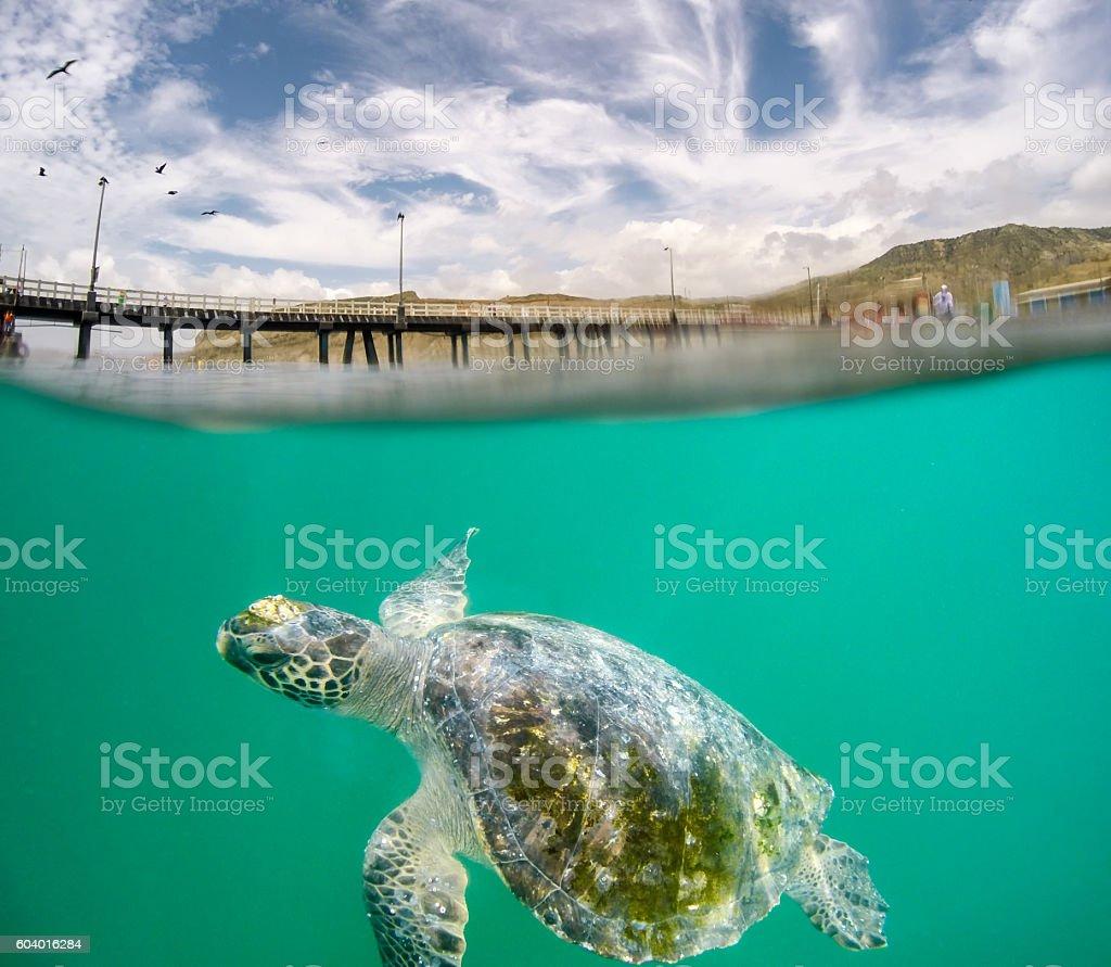 Green Sea Turtle royalty-free stock photo