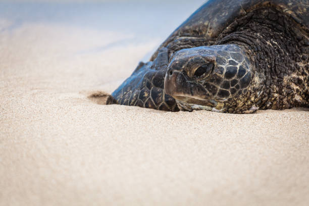 Green Sea Turtle Portrait stock photo