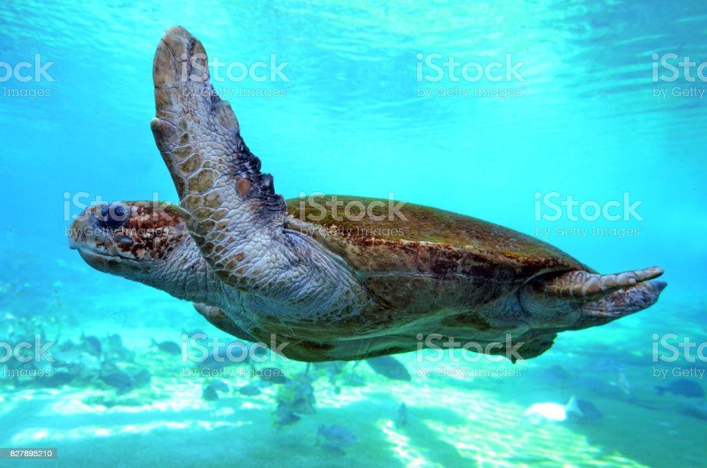 Green sea turtle Queensland Australia stock photo
