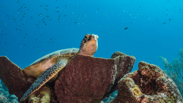 Green Sea Turtle rest in sponge of coral reef - Caribbean Sea / Curacao stock photo