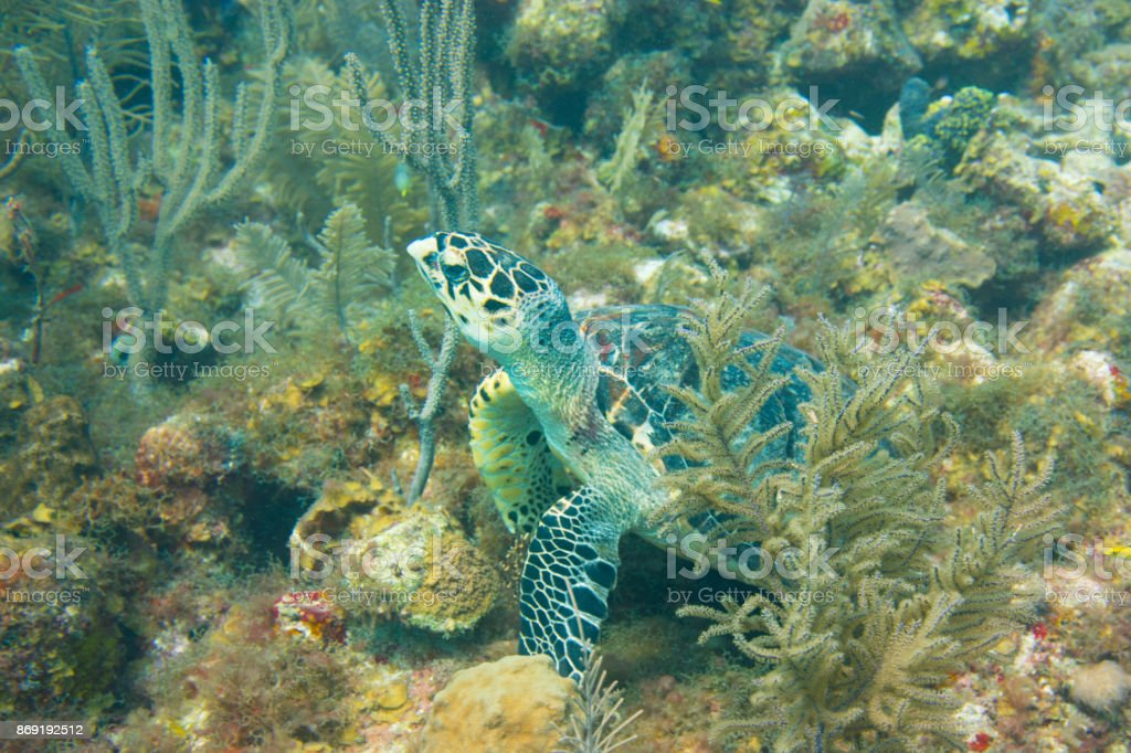 Green Sea Turtle resting amongt the reefs in the Caribbean. stock photo