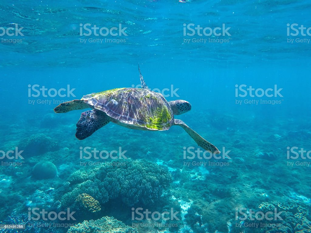 Green Sea Turtle Seeking For Food In Blue Seashore Water Stock Photo Download Image Now Istock