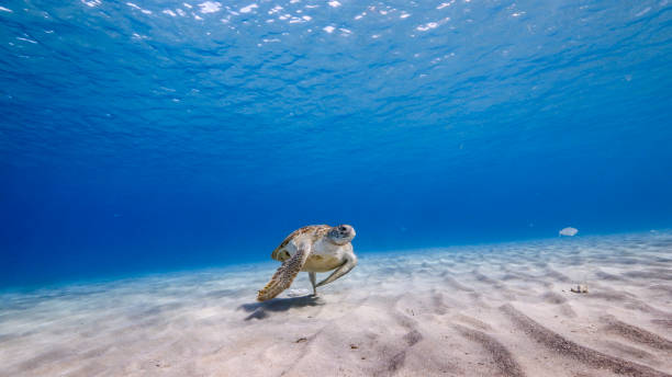 Green Sea Turtle swim in turquoise water of coral reef - Caribbean Sea / Curacao stock photo