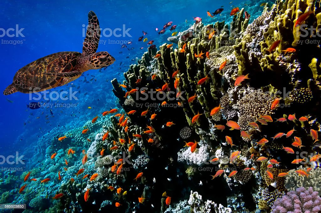 Green Sea Turtle swimming along tropical coral reef stock photo