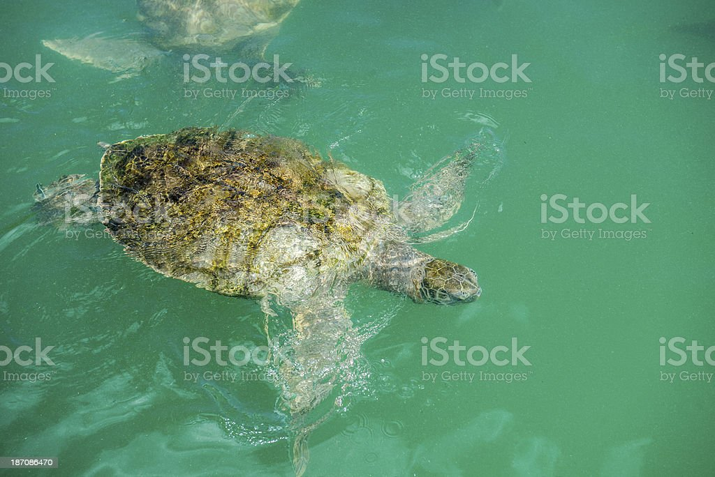 Green Sea Turtle Swimming royalty-free stock photo