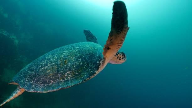 Green sea turtle swimming undersea, Galapagos stock photo