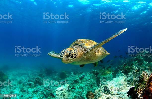 Green sea turtle swimming underwater picture id178840843?b=1&k=6&m=178840843&s=612x612&h=pqws3qtgwz3foevxf3rtsuc6bpgkuhdwhlv 6gc1fjk=