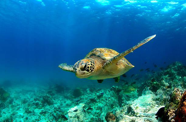 tartaruga marinha verde nadar debaixo de água - oceano pacífico imagens e fotografias de stock