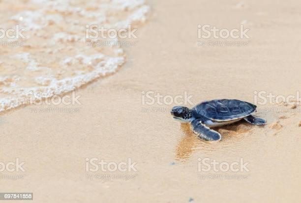 Green sea turtle walk to the ocean picture id697841858?b=1&k=6&m=697841858&s=612x612&h=bxpb4g5gwkzxltgpdz9ucbmoujwykv8nf9tcswwyxac=