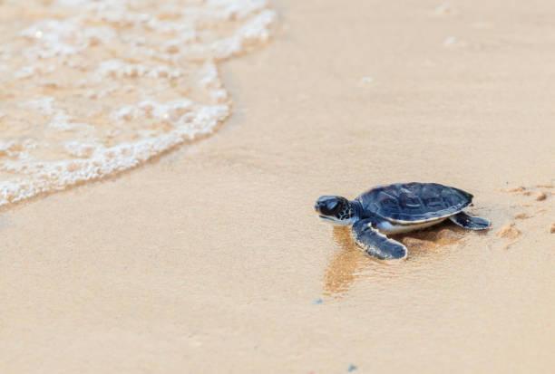 Green sea turtle walk to the ocean stock photo