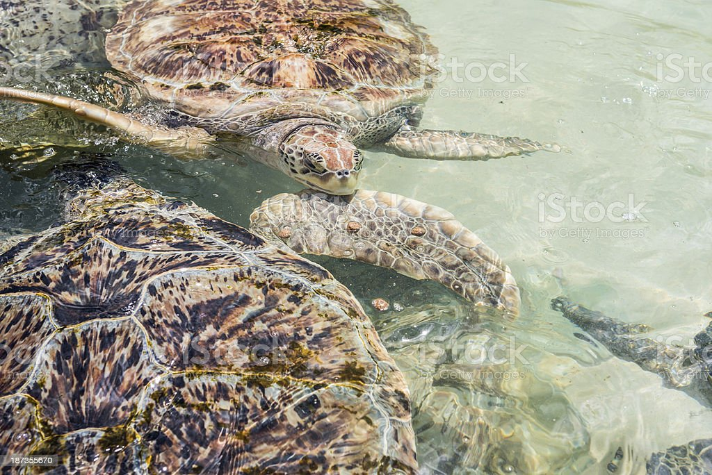 Green Sea Turtles in Water royalty-free stock photo
