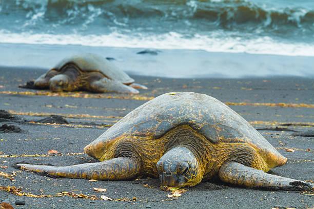 Green sea turtles stock photo