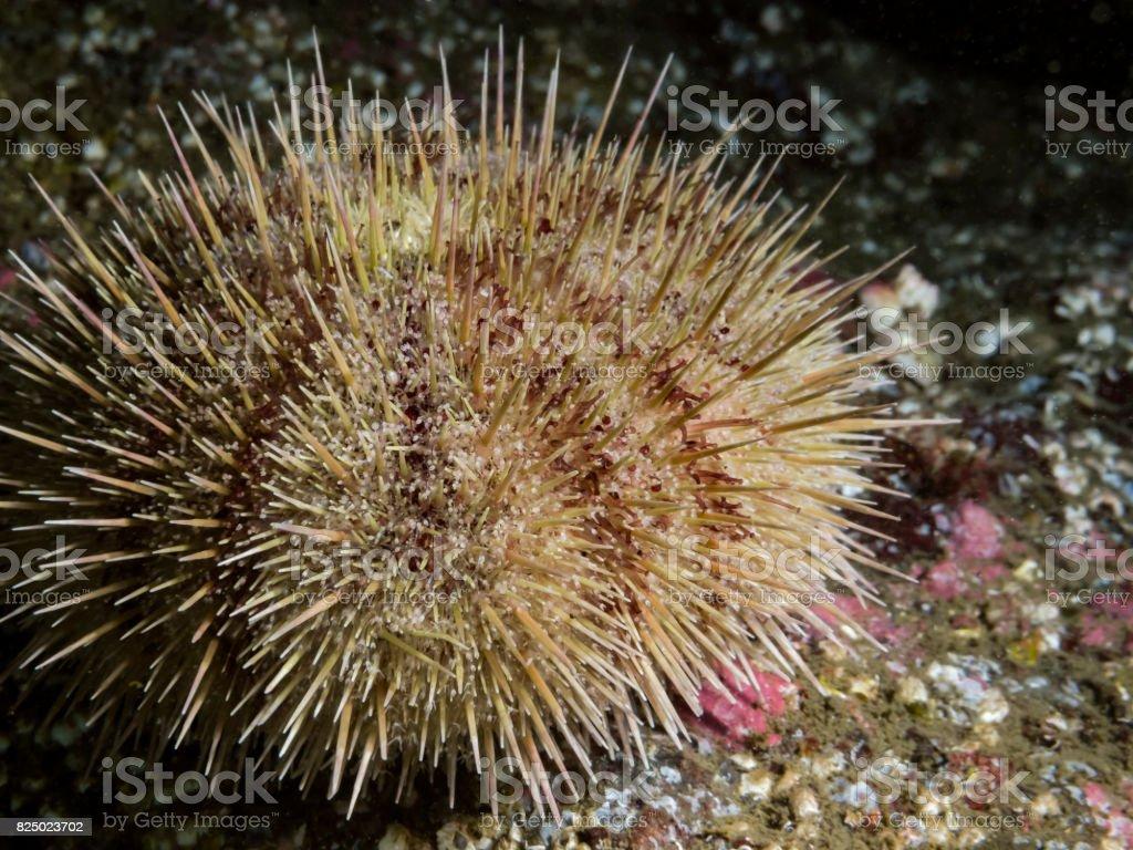 Green Sea Urchin (Strongylocentrotus droebachiensis) stock photo