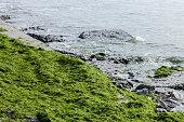 Green seaweed at ocean coast beach