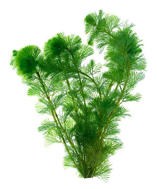 Vert algues isolé sur fond blanc - Photo