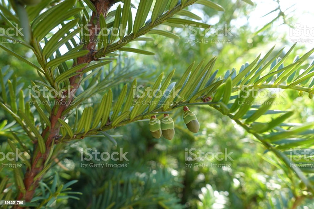 Green seed cones of yew in autumn stock photo
