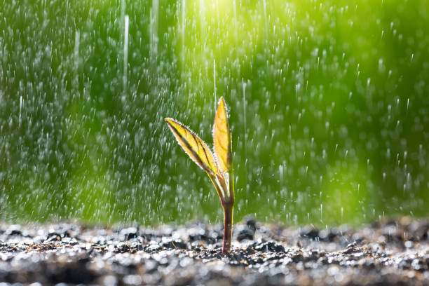 Green seedling growing on the ground in the rain stock photo