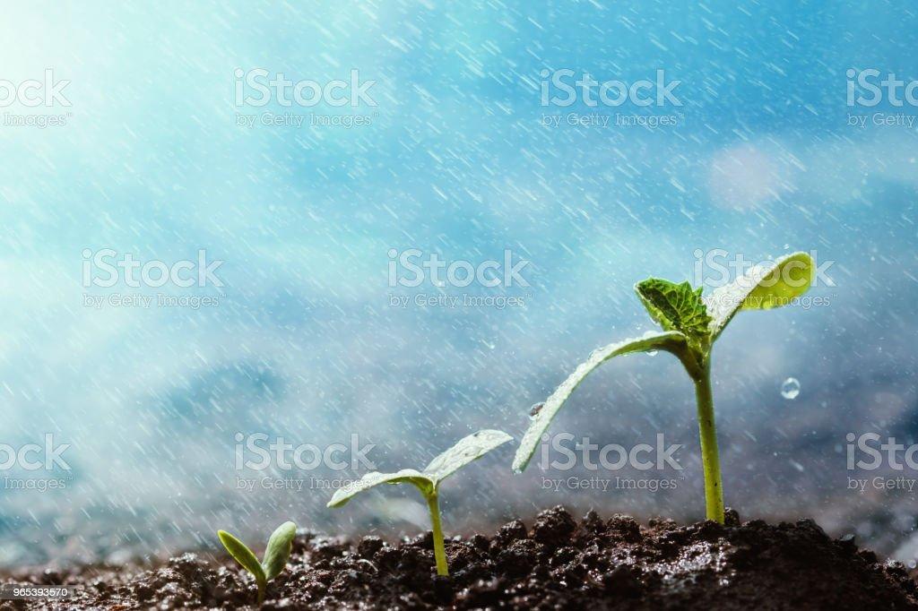 Green seedlings growing on the ground in the rain. zbiór zdjęć royalty-free