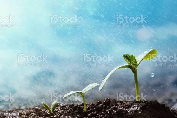 그린 묘 목 빗 속에서 바닥에 성장 0명에 대한 스톡 사진 및 기타 이미지