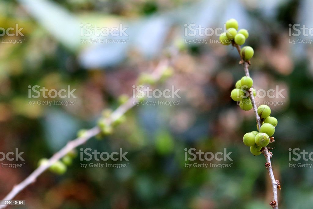 Green seeds. stock photo